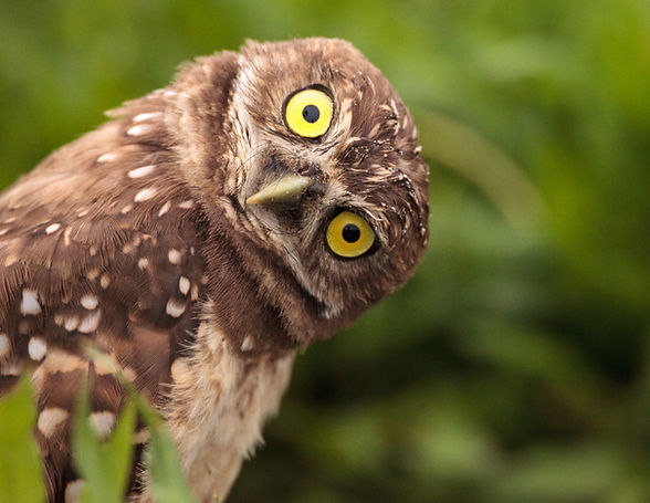 Funny Burrowing owl Athene cunicularia t