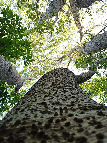 arboriste guadeloupe