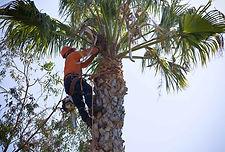 élagage palmier