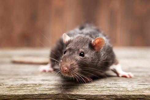 Entreprise anti nuisibles : Dératisation (Rats, Souris), Désinsectisation (Punaises de lit, cafards, blattes...) dans le 77 Seine-et-Marne | Service de dératiseur société Nuisible & CO