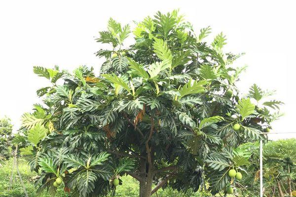 arbre guadeloupe