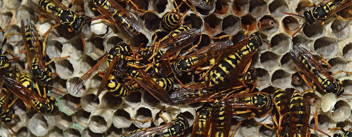 destruction nid frelon asiatique 77