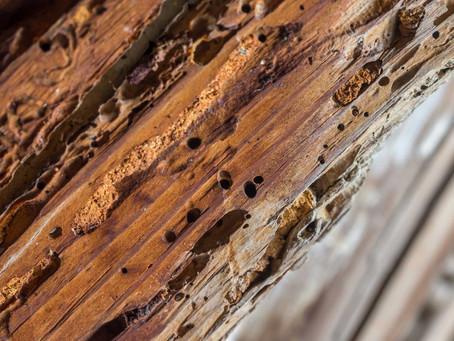 Insectes xylophages, mangeurs de bois à éliminer