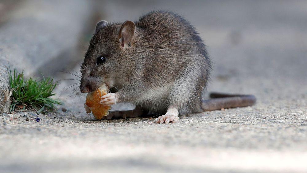 dératisation pour se débarrasser des rats à la maison