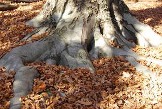 Bäume - Buche