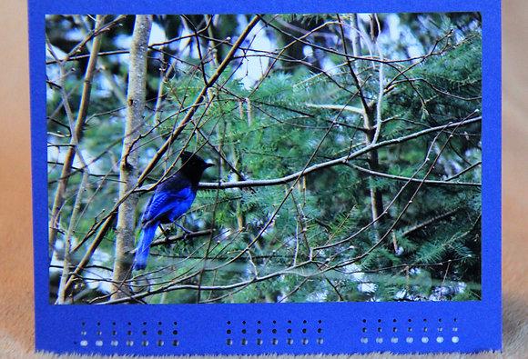 Blank - Steller Jay on Branch