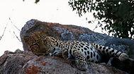 leopard_resize.jpg
