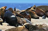 Phoques de Seal Island