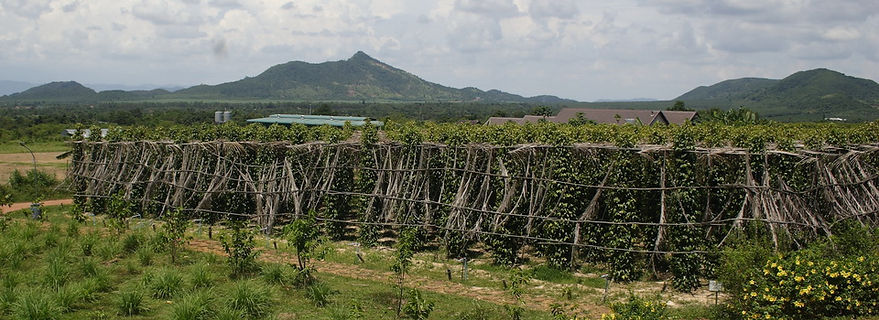 Culture du poivre de Kampot