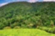 bwindi_-_tea_plantations_2.jpg