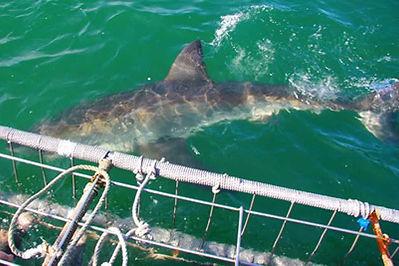 afrique-du-sud-requins.jpg