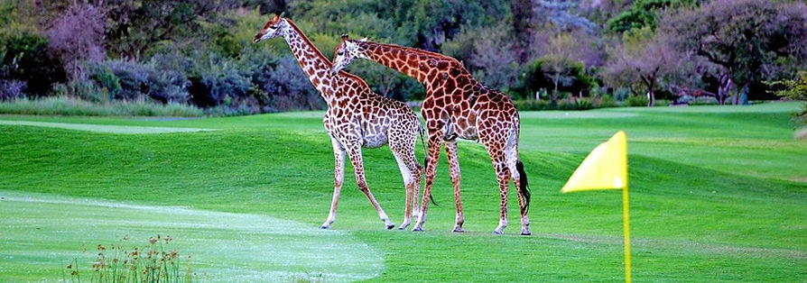golf-girafes.jpg