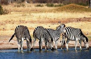 hwange_9_zebras.jpg