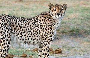 hwange_3_cheetah.jpg