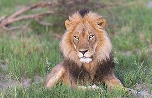 Hwange Lion.jpg