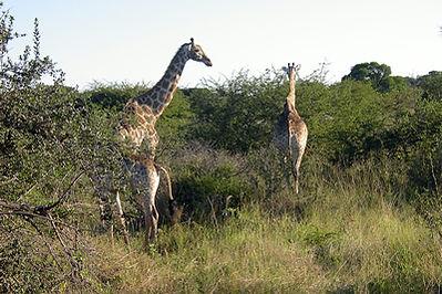 afrique-du-sud-girafes.jpg