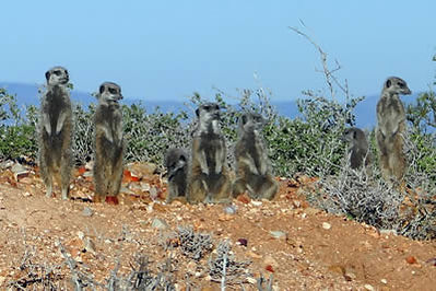afrique-du-sud-suricats.jpg