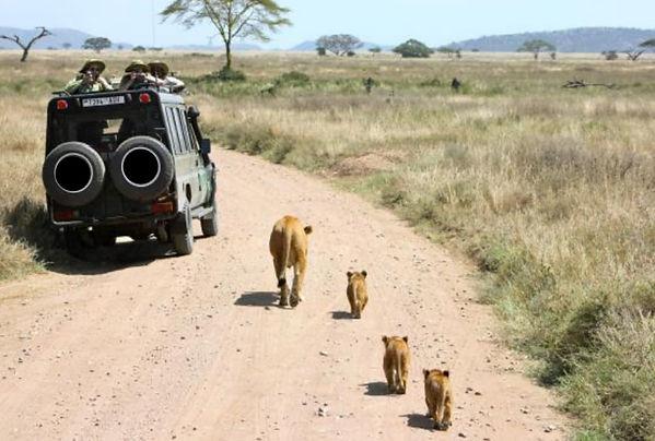 tanzanie-lions.jpg