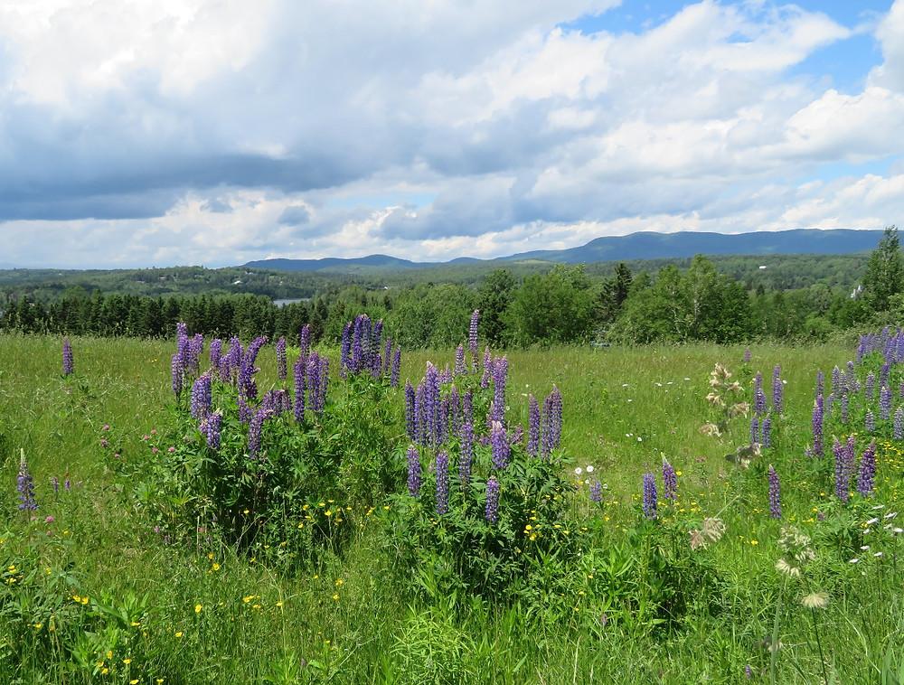 Lupines near Rangeley, Maine