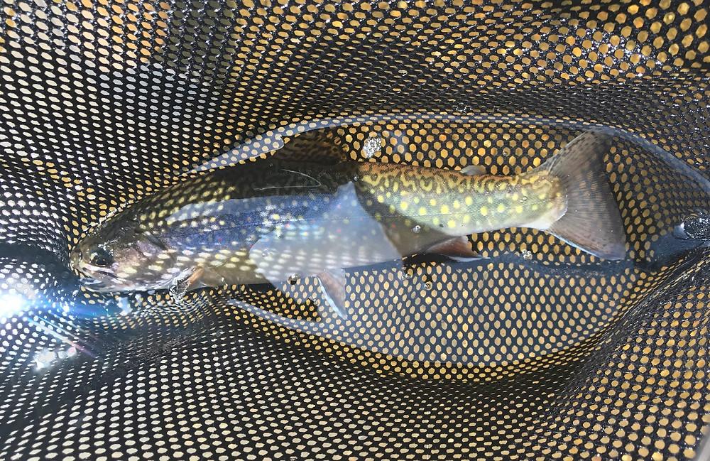 Wild native brook trout, Dead Diamond River