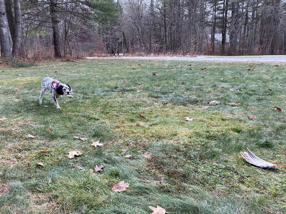 At 12 weeks old, Autumn shows her pointing instincts with a pheasant wing in the yard.