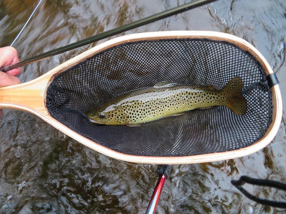 Ausable brown trout.
