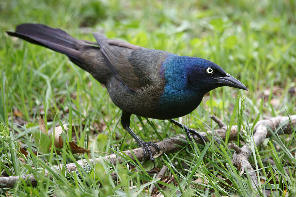 Common Grackle: Photo by Vkulikov, from wikimedia commons