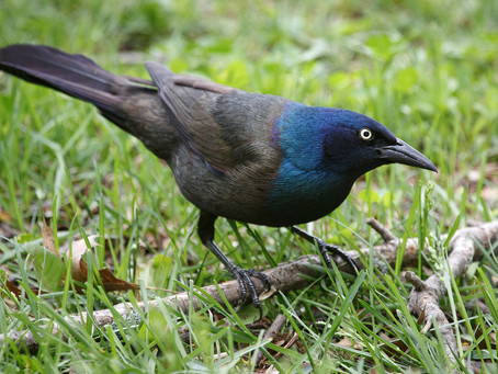 Grackles Unlimited