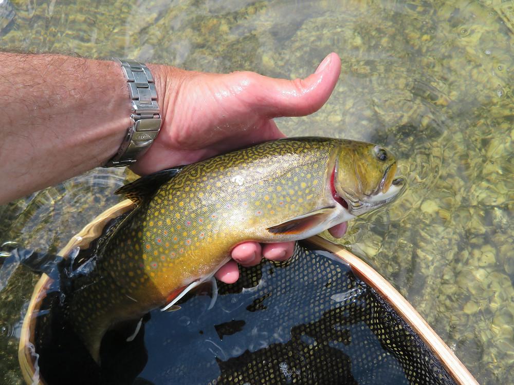 Rapid River brook trout.