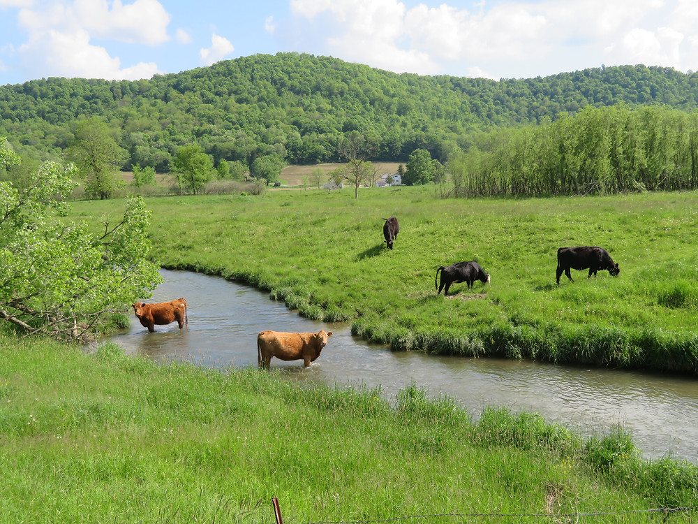 Cows standing in Timber Coulee Creek in Coon Valley, WI