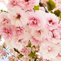 blossom_header.png