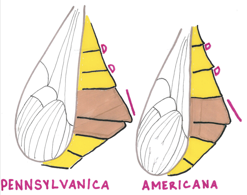A drawing created to show the differences in connexiva shape between P. pennsylvanica and americana