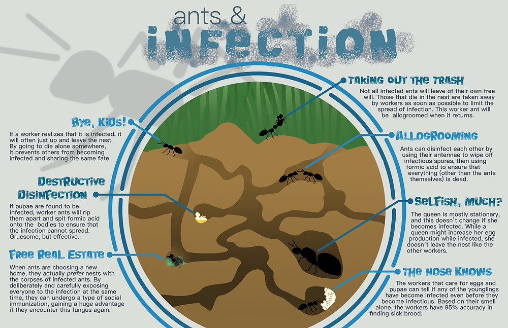 An infographic pointing out different ways ants deal with infection risks