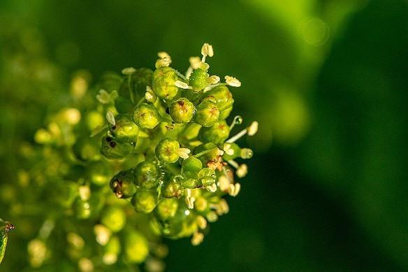floraison vigne Château de Chantegrive - Graves