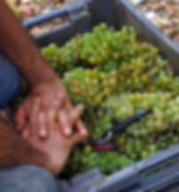 mains vendanges sauvignons.jpg