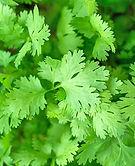 Coriander Leaves.jpg