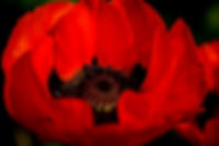 Photo of a red vivid Norwegian Poppy
