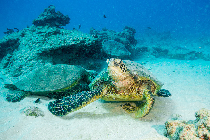 Sea turtles at Turtle Canyon outside Honolulu
