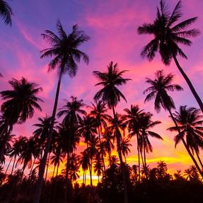 shutterstock_148279349 Coconut palm tree