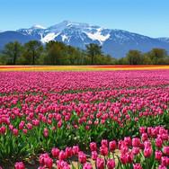 00137_Tulips.jpg
