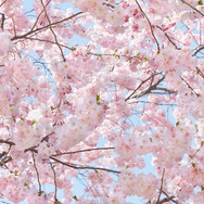 00155_Pink_Blossoms.jpg