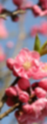 桃の花2_edited.jpg