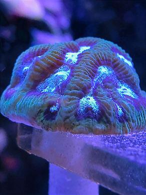GI Joe encrusting coral