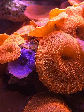 Mushroom Coral.JPEG