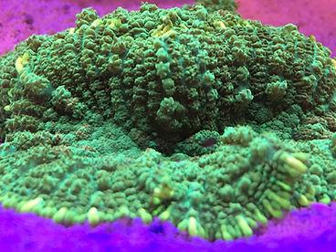 Recordia coral.JPG
