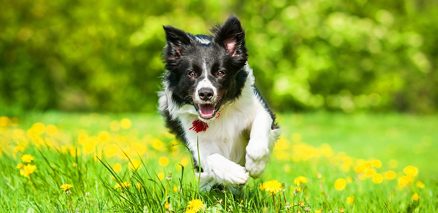 Border collie running on the field with