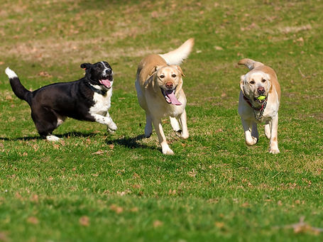 beautiful Labradors playing with a ball