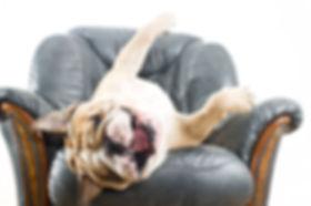 Happy lazy dog English Bulldog on a leat