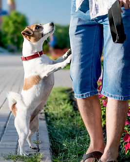 A small curious dog jack russell terrier