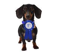 Blue First Place Ribbon Dachshund Puppy